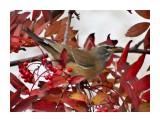 Оливковый дрозд 11 октября  Просмотров: 462 Комментариев: 0