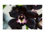 Редкий вид орхидеи.