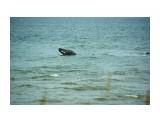 Серый кит  Просмотров: 1071 Комментариев: 0