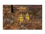 Тундра в дождь.. мокрые деревья как костерки... Фотограф: vikirin  Просмотров: 1538 Комментариев: 0