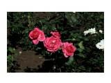 Розы в Музее Фотограф: vikirin  Просмотров: 2326 Комментариев: 0