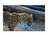 Название: дальневосточный  леопард Фотоальбом: скотинки встречные Категория: Животные  Время съемки/редактирования: 2019:11:10 14:27:30 Фотокамера: NIKON CORPORATION - NIKON D5100 Диафрагма: f/5.6 Выдержка: 10/1000 Фокусное расстояние: 550/10    Просмотров: 239 Комментариев: 0