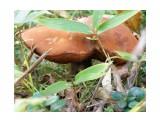 Ложный белый гриб  Просмотров: 53 Комментариев: 0