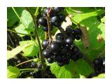 Сахалинский виноград-смородина Фотограф: vikirin  Просмотров: 4664 Комментариев: 0