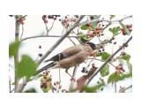Птички  Помощник в сборе урожая ))  Снегирь   Просмотров: 112  Комментариев: 0