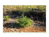Маленькие елочки.. так начинает  рости тайга.. Фотограф: vikirin  Просмотров: 1761 Комментариев: 0