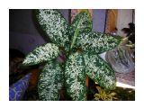 Дифенбахия крапчатая  Фотограф: vikirin  Просмотров: 1348 Комментариев: 0