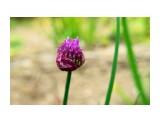 Лук скорода. Фотограф: NIK цветение  Просмотров: 350 Комментариев: 0