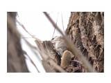 Белка-летяга или летучая белка (Pteromys volans) Фотограф: Tsygankov Yuriy Главное-хвост!  Просмотров: 175 Комментариев: 0