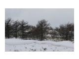 На елках сидят курильские орланы Итуруп  Просмотров: 40 Комментариев: