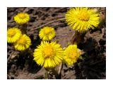 Солнечные подснежники Фотограф: vikirin  Просмотров: 4246 Комментариев: 0