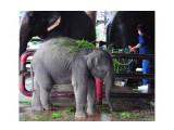 sloni-v-tailande_1  Просмотров: 75 Комментариев: