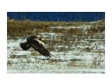 Белоплечий орлан Фотограф: В.Дейкин  Просмотров: 1679 Комментариев: 1