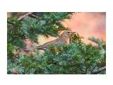 Название: Золотистый дрозд Фотоальбом: Птички Категория: Животные Фотограф: VictorV  Время съемки/редактирования: 2021:10:15 17:18:32 Фотокамера: SONY - SLT-A99 Диафрагма: f/6.3 Выдержка: 1/125 Фокусное расстояние: 6000/10    Просмотров: 29 Комментариев: 0