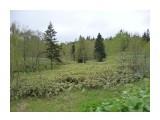 Бамбуковый лес! Фотограф: viktorb о. Сахалин, район Яблоневого перевала!  Просмотров: 953 Комментариев: 0