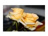 Жёлтые розы  Просмотров: 525 Комментариев: