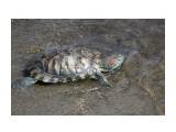 Название: красноухая черепаха Фотоальбом: Медузы, крабы и др. Категория: Животные  Просмотров: 684 Комментариев: 1
