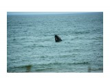 Любопытный серый кит  Просмотров: 1082 Комментариев: 0