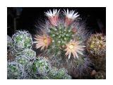Если надоели просто кактусы,а поливать цветы лень-заведите мамиллярии-изящные ,миниатюрные,разноцветные сами по себе Фотограф: vikirin  Просмотров: 3622 Комментариев: 2