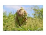 Название: Дудник Сахалинский Фотоальбом: растительный мир Сахалина Категория: Природа  Время съемки/редактирования: 2020:07:17 10:11:48 Фотокамера: Canon - Canon EOS 1200D Диафрагма: f/9.0 Выдержка: 1/250 Фокусное расстояние: 67/1    Просмотров: 198 Комментариев: 0