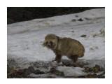Название: енотовидная (уссурийская) собака Фотоальбом: скотинки встречные Категория: Животные  Время съемки/редактирования: 2020:04:26 09:19:38 Фотокамера: NIKON CORPORATION - NIKON D5100 Диафрагма: f/13.0 Выдержка: 1/400 Фокусное расстояние: 6000/10    Просмотров: 181 Комментариев: 1