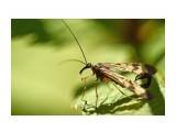 Скорпионница Фотограф: VictorV  Просмотров: 376 Комментариев: 1