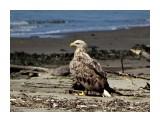Белохвостый орлан  Просмотров: 659 Комментариев: 0