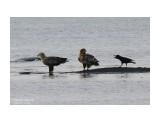 Птичьи разборки....  Просмотров: 526 Комментариев: