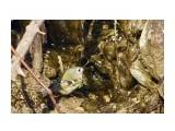 Название: Желтоголовый королёк Фотоальбом: Красота пернатая Категория: Природа Фотограф: Tsygankov Yuriy  Время съемки/редактирования: 2021:02:27 16:14:55 Фотокамера: Canon - Canon EOS 60D Диафрагма: f/6.3 Выдержка: 1/500 Фокусное расстояние: 500/1   Описание: На водопое.  Просмотров: 135 Комментариев: 4