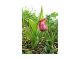 Название: Северная орхидея - Венерин башмачок. Занесен в Красную книгу. Фотоальбом: Природа 2014 Категория: Цветы Описание: Редкий цветок.  Просмотров: 951 Комментариев: 0