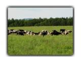 Стадо коров вывело пастуха подышать свежим воздухом)))  Просмотров: 946 Комментариев: 0