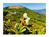 Рододендрон золотистый на Майорской Уже отцветает...  Просмотров: 580 Комментариев: 0