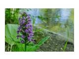 любка камчатская Фотограф: Tsygankov Yuriy Семейство Ятрышниковые (Орхидные)  Просмотров: 123 Комментариев: 0