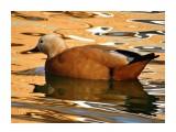 Название: DSC01669 Фотоальбом: Осень в зоопарке Категория: Животные Описание: Огарь.  Просмотров: 80 Комментариев: 0