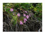 Береговые цветы... Фотограф: vikirin  Просмотров: 3663 Комментариев: 0
