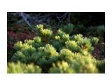 Кедровый стланник.. закат Фотограф: vikirin  Просмотров: 2671 Комментариев: 0