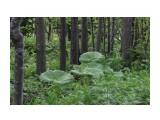 Дикие леса... Фотограф: vikirin  Просмотров: 1874 Комментариев: 0