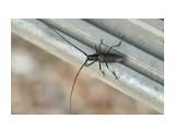 Чёрный пихтовый усач, самец Фотограф: VictorV  Просмотров: 281 Комментариев: 0