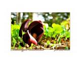 Symplocarpus renifolius Фотограф: В.Дейкин  Просмотров: 714 Комментариев: 2