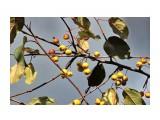 Название: Поздние яблочки.. В саду Орловой Т.Д. Фотоальбом: ОСЕНЬ... Категория: Природа Фотограф: vikirin  Просмотров: 1463 Комментариев: 0