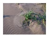 Ветер рисует круги на песке, используя как кисти листья жесткого пырея... Фотограф: vikirin  Просмотров: 4821 Комментариев: 0