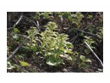 Первое весеннее цветение... Фотограф: vikirin  Просмотров: 1774 Комментариев: 0