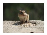 Название: Бурундучок Фотоальбом: Бурундуки Категория: Животные Фотограф: Vangeliya  Просмотров: 444 Комментариев: 0