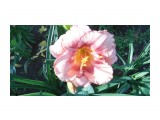 Название: P1000191 Фотоальбом: Цветы. Категория: Цветы  Просмотров: 384 Комментариев: 0