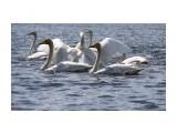 Лебеди в Охотском  Просмотров: 923 Комментариев: 0