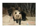 Три медвежонка Район оз.Медвежье, г.Оха  Просмотров: 9292 Комментариев: