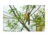 Птички  Японская мухоловка   Просмотров: 42  Комментариев: 0
