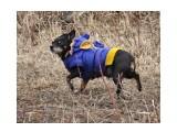 Важный пёс в пинжаке.  Просмотров: 5233 Комментариев: 1