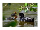 лысуха с выводком в одном из многочисленных прудов Калининграда  Просмотров: 724 Комментариев: 0