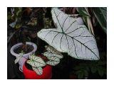 каладиум белый мрамор Фотограф: vikirin  Просмотров: 951 Комментариев: 0